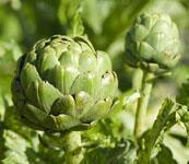 Quality High quality natural artichoke extract for sale