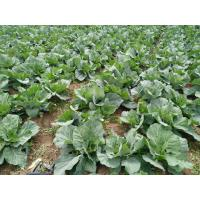 Quality Healthy Small Head Cabbage , Lower Cholesterol Levels Ball Cabbage for sale