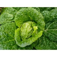 Quality Delicious Raw Fresh Green Cabbage NoPesticideResidue Rich In Vitamin C for sale