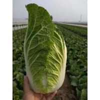 Quality Healthy Organic Napa Cabbage / Slim Figure Chinese Green Cabbage for sale