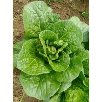 Quality Rich Nutrients Raw Green Cabbage / Chinese Green Cabbage Japan Standard for sale