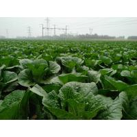 Quality Cruciferous Organic Green Cabbage , No Putrefaction Healthy Cabbage for sale