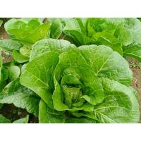 Quality Natural Hue Big Size Dark Green Cabbage / Good Taste Small Green Cabbage for sale