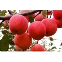 China Vitamin C Apple Pectin Powder Apple Juice Powder Apple Powder--Malus pumila Mill on sale