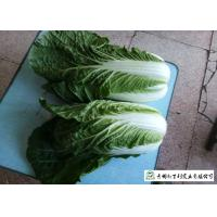 Quality Chinese All Season Cabbage Yellow Inside 15kg / Ctn HACCP GAP Certification for sale
