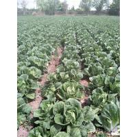 Quality No Pesticide Fresh Chinese Cabbage Grows In Village Without Pollution for sale