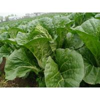 Quality Clean Delicious Flat Head Cabbage For Large Supermarket / Salad Factory for sale