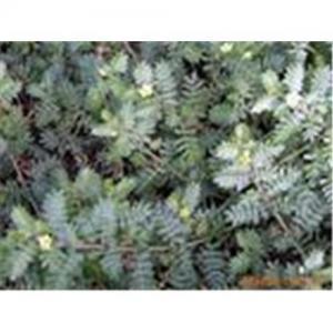 China Tribulus terrestris extract on sale