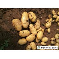 Quality Delicious Fresh Potato Can Used As A Vegetable Or As A Staple Food for sale