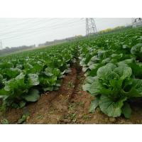 Quality Fiber Shin Fresh Green Cabbage Without Soil For Lower Blood Pressure for sale