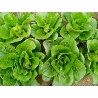 Quality No Yellow Flower Fresh Green Cabbage For Restaurant And Supermarket for sale
