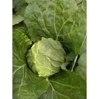 Quality Vitamin K Flathead Cabbage / Improve Digestion Early Round Dutch Cabbage for sale