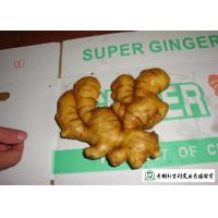 Quality Healthy Fresh Raw Ginger No Pesticide Residues Used For Juicing / Flavor for sale