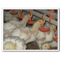 Buy Broiler Breeding Equipment at wholesale prices