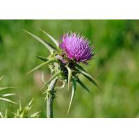 Quality Natural 80% Silymarin Milk Thistle Extract Used to detoxify and reduce the blood fat for sale