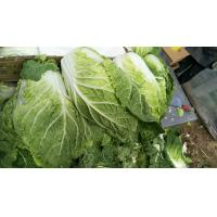 Quality Nutrient Small Chinese Cabbage / Chinese Leaf Cabbage HACCP / GAP Standard for sale