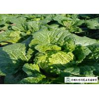Quality Big Size Fresh Chinese Cabbage Yellow Inside 15 Kg / Ctn GAP Standard for sale