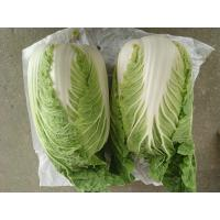 Quality Organic Green Flat Head Cabbage With Japan Standard HACCP&GAP Standard for sale