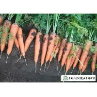 Quality Japan Standard Fresh Organic Carrots Own Plantation Supply To Supermarket for sale