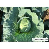 Quality Japan Standard Flat Head Cabbage Own Plantation Supply To Salad Factory for sale
