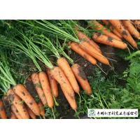 Quality Multipurpose Orange Carrot Contain Hypoglycemic Substances Easy Store for sale