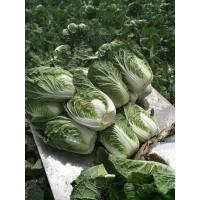 Quality Green Outside Small Head Cabbage , Chinese Napa Cabbage Japan Standard for sale