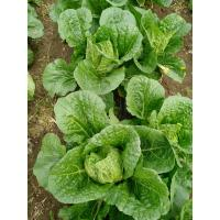 Quality No Rotten Signs Cabbage Vegetable , Chinese Flat Cabbage Low In Calories for sale