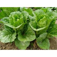 Quality Rich Folic Acid Fresh Green Cabbage For Frying , Simmering And Mixing for sale