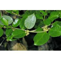 China Gymnema Sylvestre Extract on sale