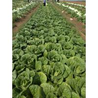Quality Good Taste Flat Head Cabbage For Frying / Simmering / Mixing / Simmering for sale