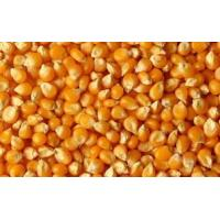 China Maize oil complete plant on sale