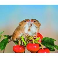Quality 5B72 Harvest Mice, just being friendly. (for 6 cards) for sale