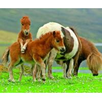 Quality 5B68 Shetland Ponies, grazing adults with playful young. (for 6 cards) for sale