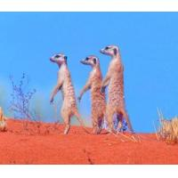 Quality 5B69 Meerkats, a family on the lookout for both danger and food. (for 6 cards) for sale