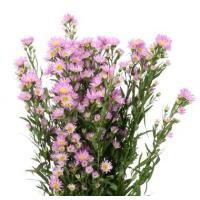 Quality Aster SUPER TALL PURPLE 90cm Mardi Gras ( Pack 15 ) for sale