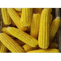 China Reliable price IQF Frozen Sweet corn on the cob on sale