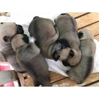Quality Pug Puppies for sale for sale