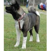 Quality Akita Inu Multifunctional Leather Dog Harness for sale