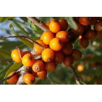 Buy cheap Sea Buckthorn berry from wholesalers