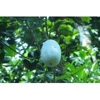 Buy cheap Winter Melon from wholesalers