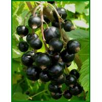 Buy cheap Black Currants from wholesalers